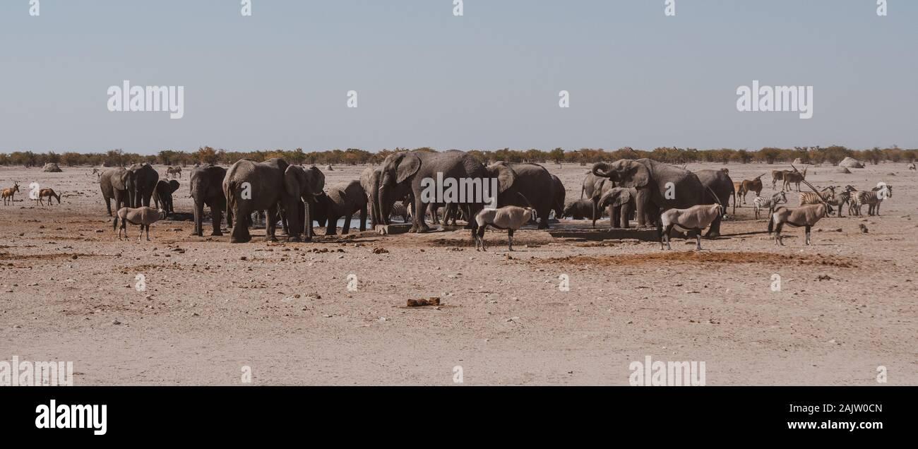 Troupeau d'éléphants à un étang Panorama dans Etosha National Park dans la nostalgie des couleurs chaudes Banque D'Images