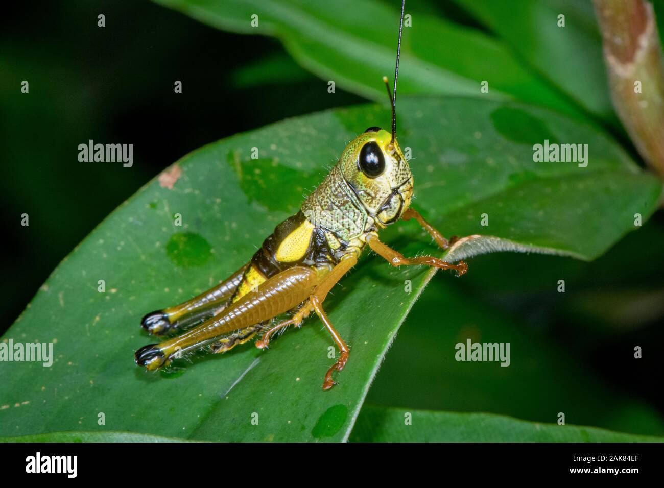Sauterelle non identifiés, le Parc National de Sinharaja, Sri Lanka Banque D'Images