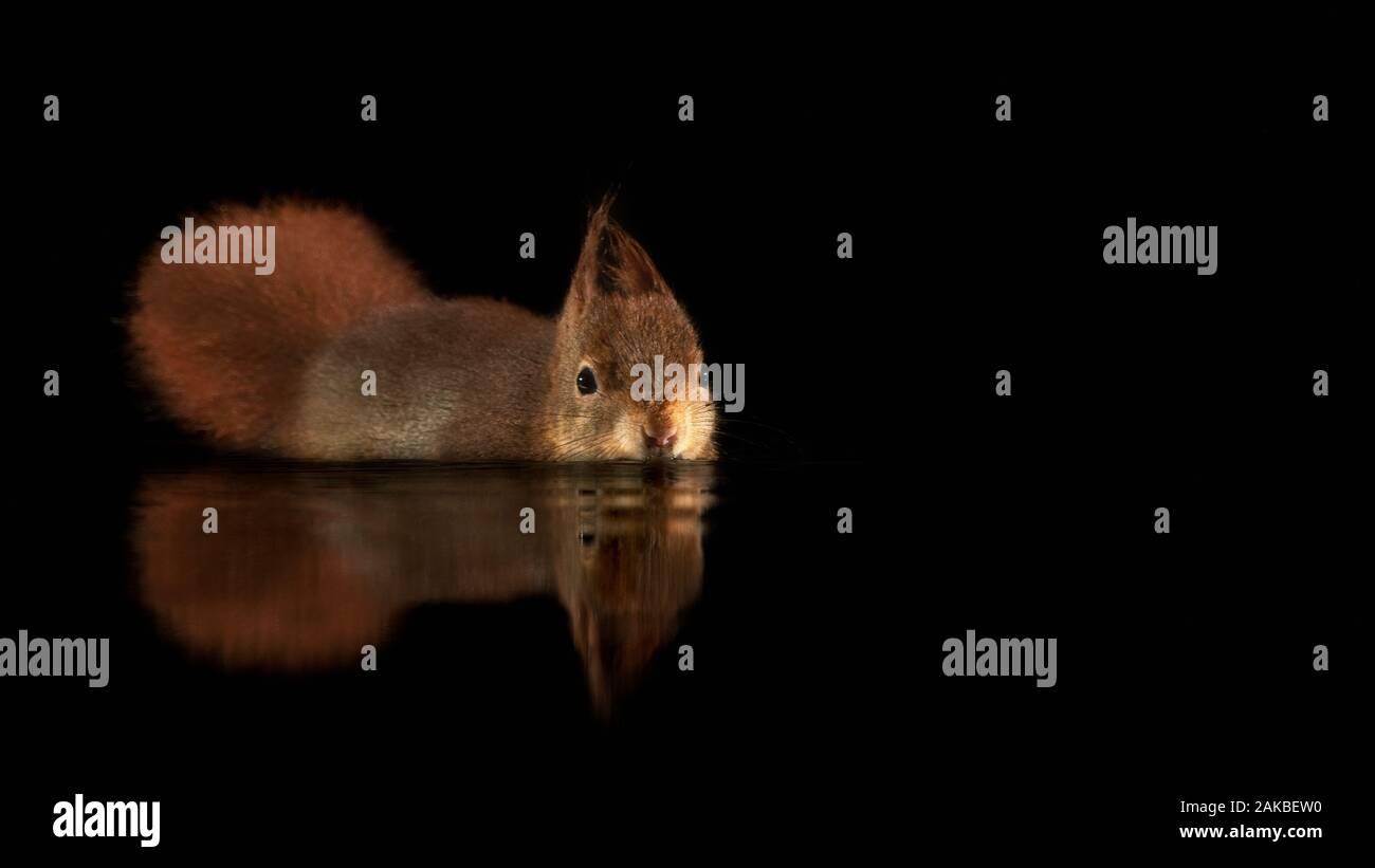 Le magnifique écureuil rouge eurasien (Sciurus vulgaris) naine dans une piscine d'eau dans la forêt de Drunen, aux Pays-Bas. Fond noir. Réflexion Banque D'Images