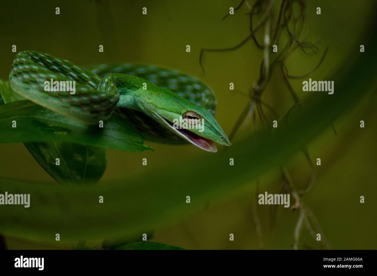 Serpent vert à la vigne dans la jungle Banque D'Images