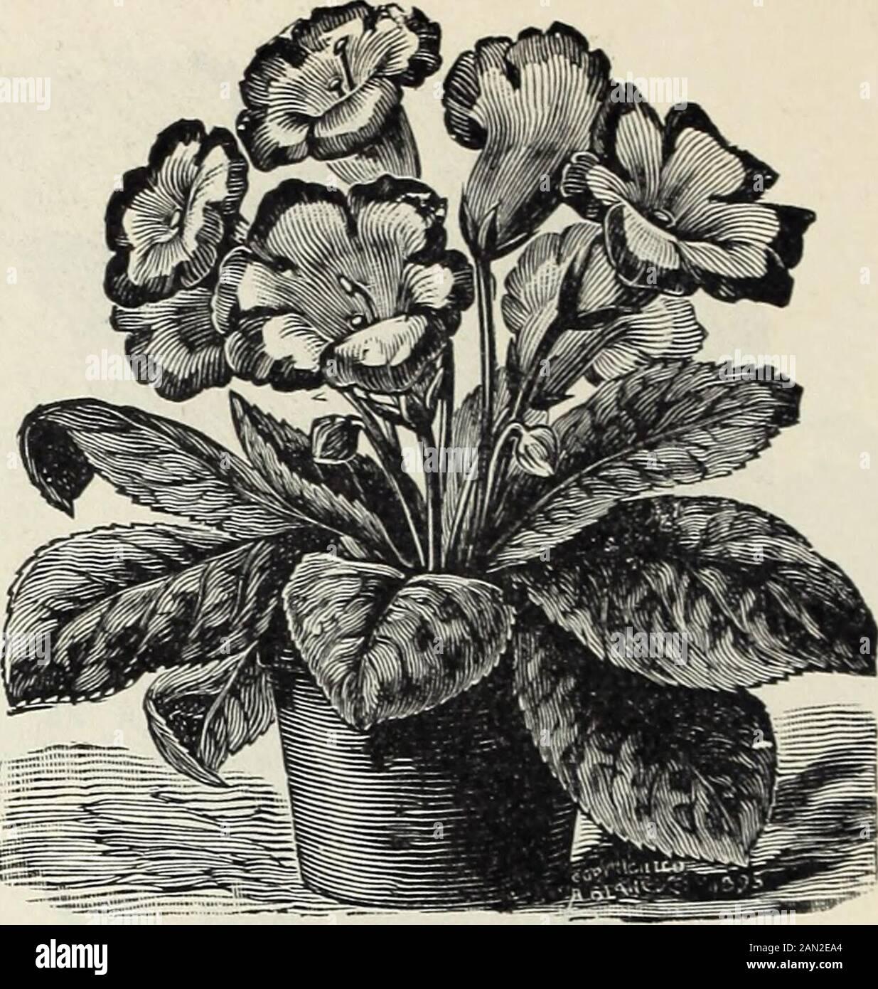 Streptocarpus Mix vivace fleurit pendant 6 mois Cape Primevère 10 Graines