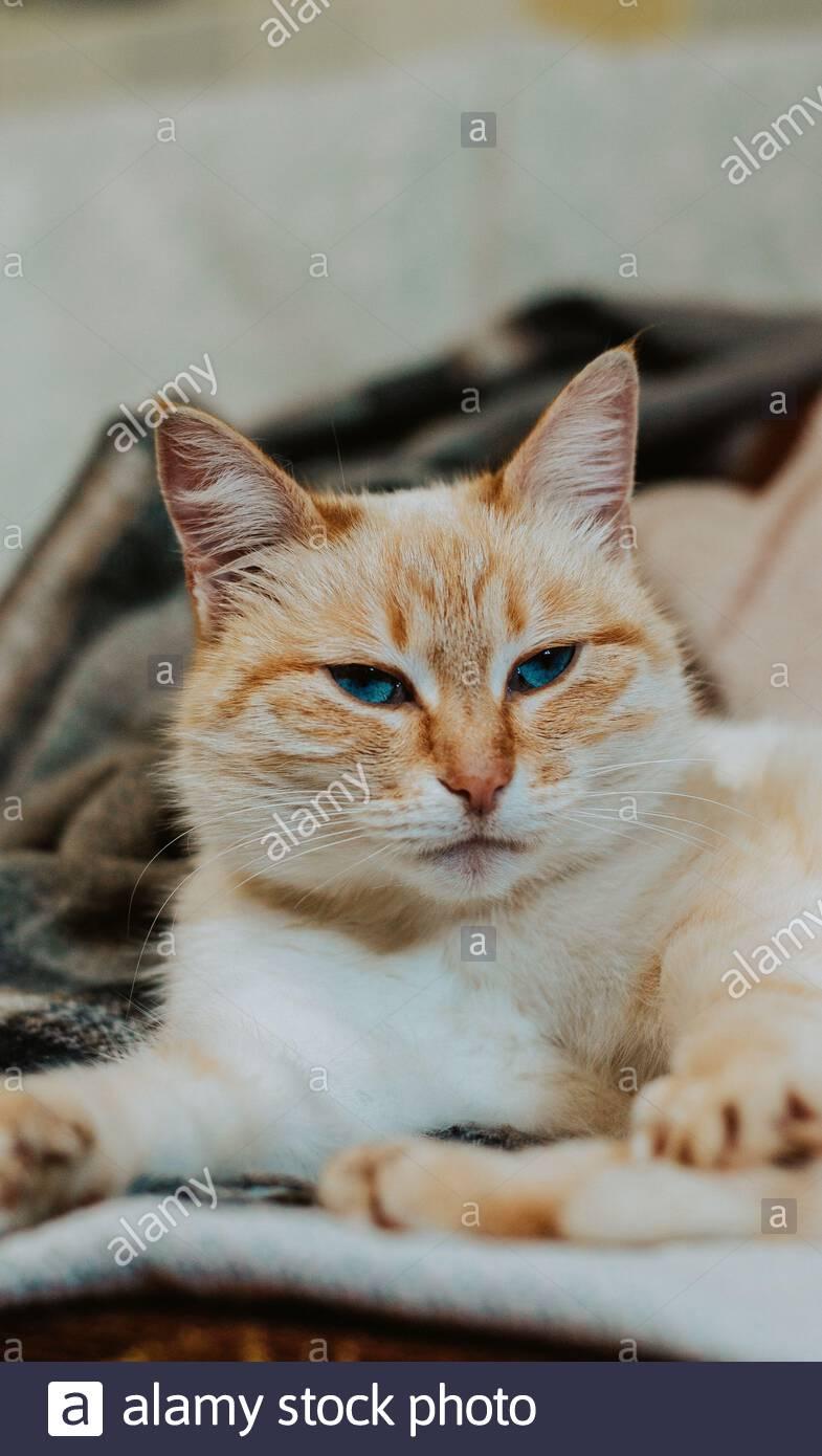 Portrait d'une belle orange bleu-eyed cat Banque D'Images
