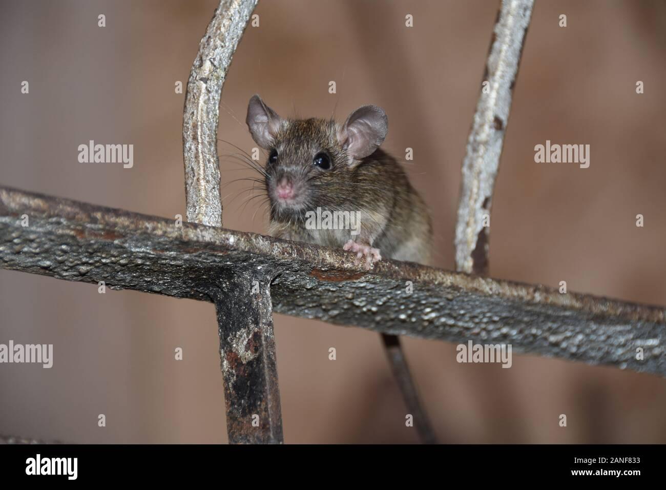 Souris Grimpe Au Mur cat rat photos & cat rat images - alamy