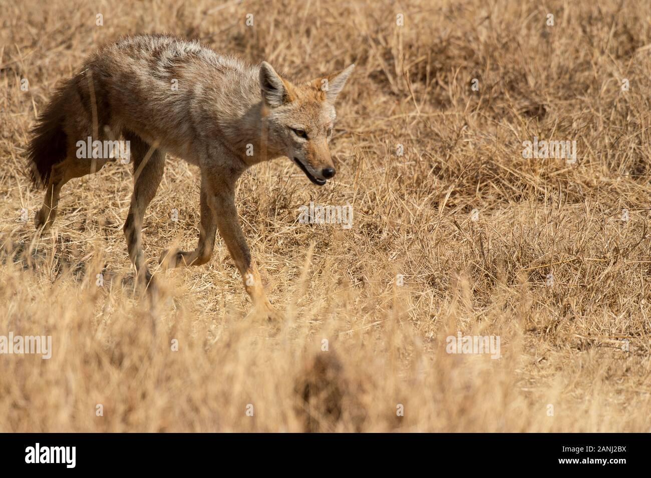 Golden Jackal, Canis Aureus, Canidae, Ngorongoro Conservation Area, Tanzanie, Afrique Banque D'Images