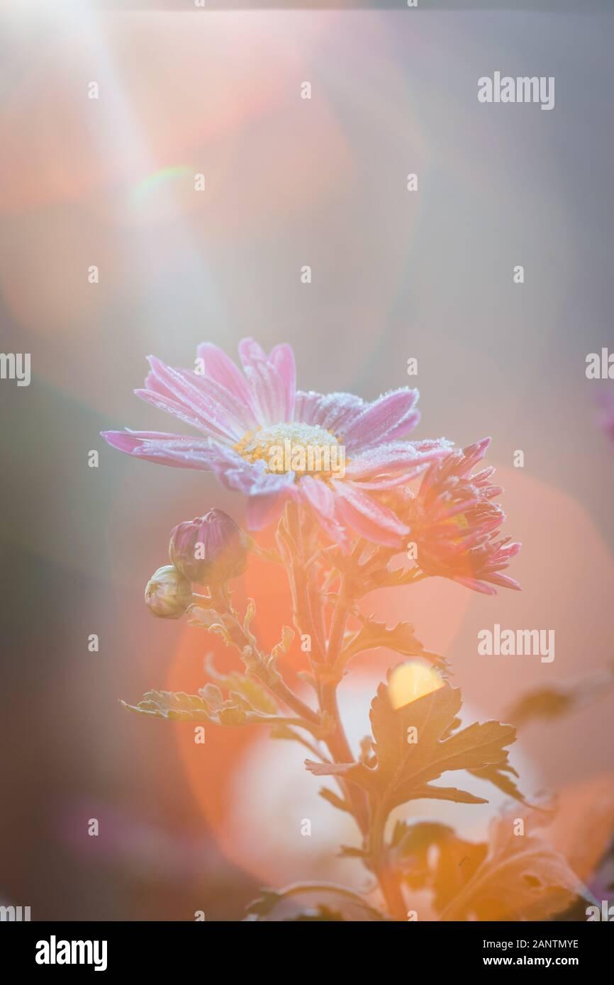 Idée pour le bouddhisme et la méditation et l'englightenment concept. Englightened fleur. Concept de la religion. Banque D'Images