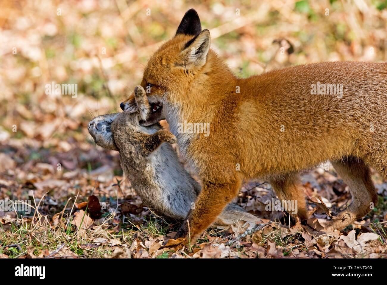 Le Renard roux Vulpes vulpes, homme transportant, tuer un lapin, NORMANDIE EN FRANCE Banque D'Images