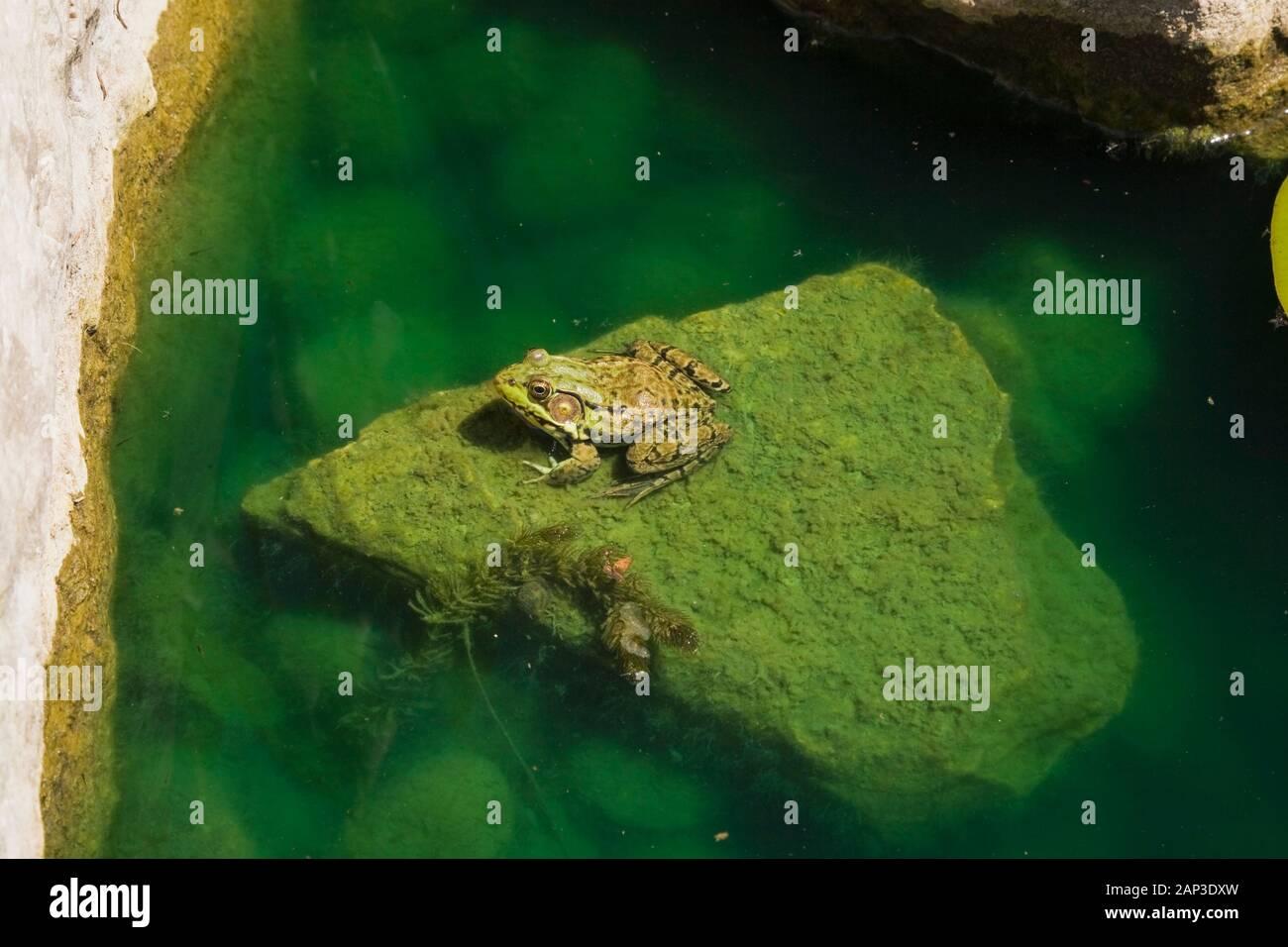 Gros plan de Rana clamitans - Grenouille verte reposant sur un roche couverte de chlorophyta - algues vertes dans un étang à la fin du printemps Banque D'Images