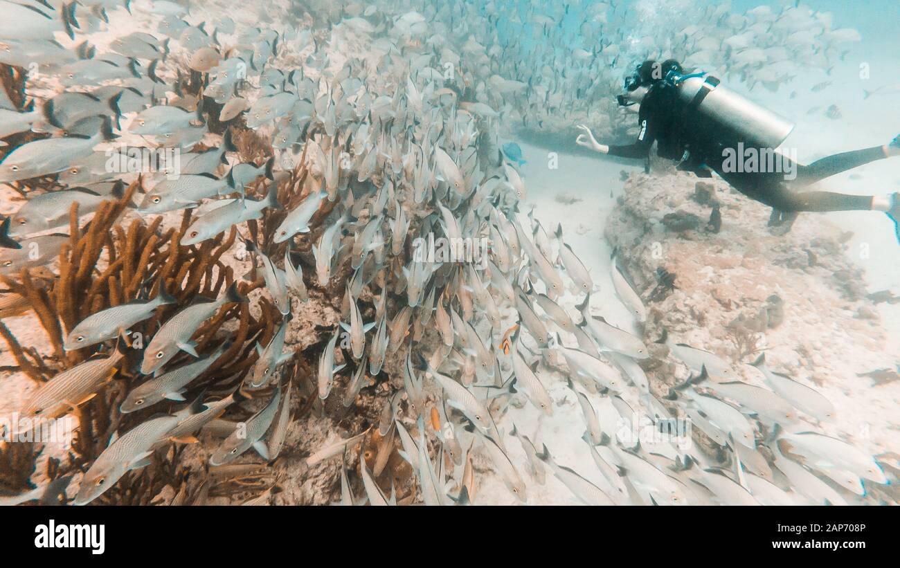 Plongeur, une personne plongée en face de l'école de poisson de vivaneau jaune à Playa del Carmen, Quintana Roo, Mexique Banque D'Images