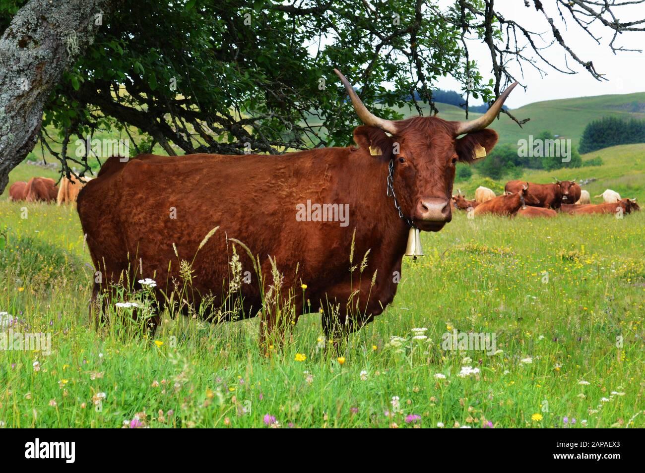 Belle vache de montagne de Salers se reproduisent dans un champ. Bovins laitiers Banque D'Images