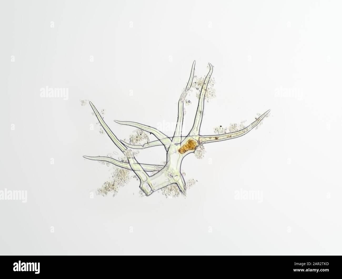 Trichhome - poils de plantes - sous le microscope, le champ de vision horizontal est d'environ 0,58 mm Banque D'Images