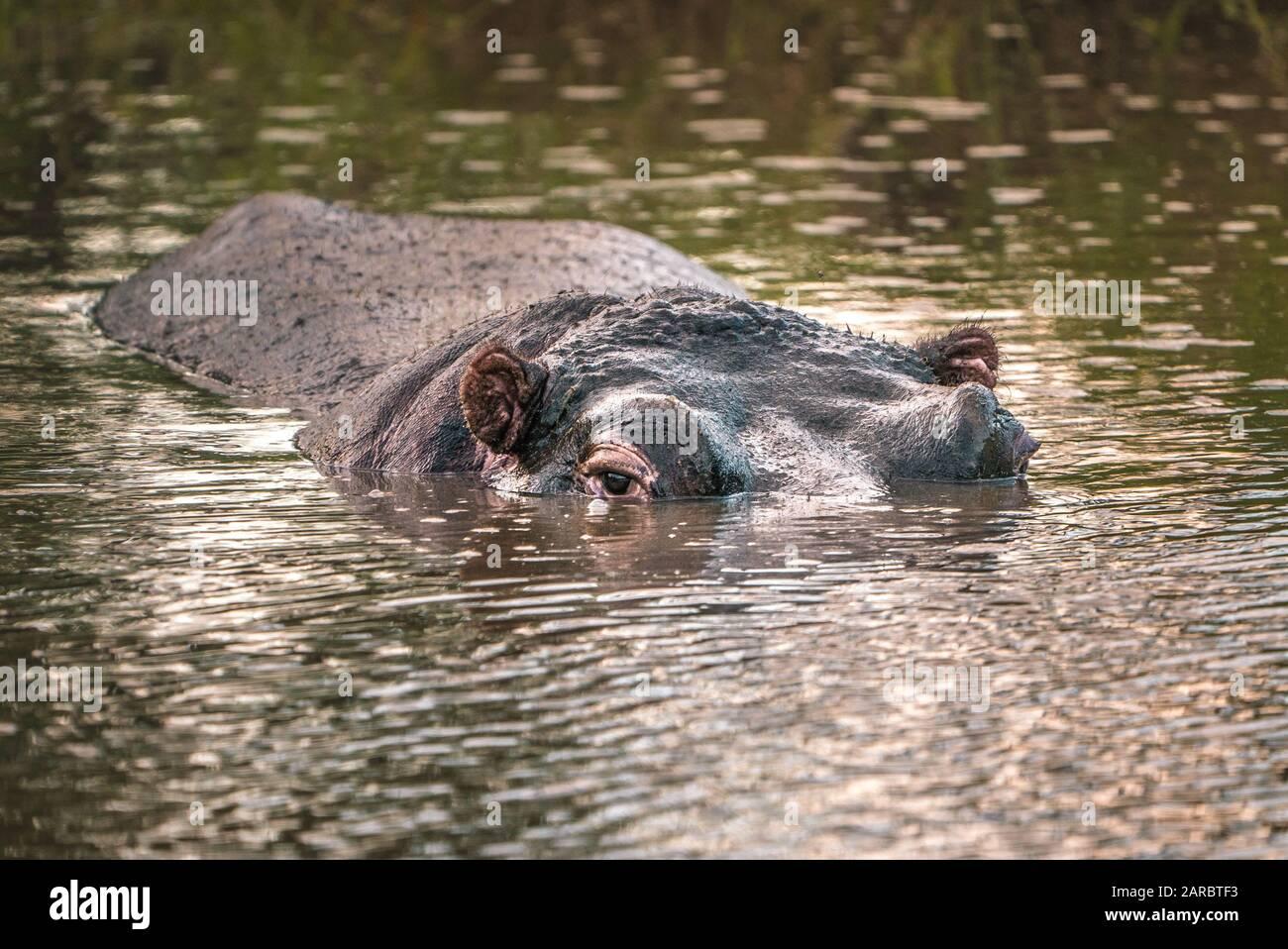 Hippo dans l'œil de l'eau pour regarder le parc national de l'Afrique du Sud Banque D'Images