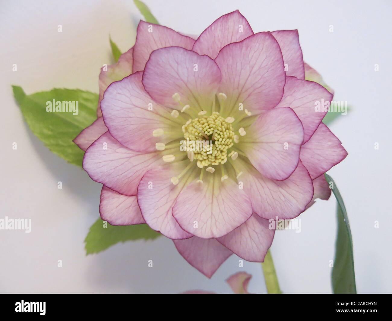 Gros plan de la fleur de sainty d'un hellebore à fleurs d'hiver avec pétales roses pâle teintés dans un rose plus profond autour des bords. Banque D'Images