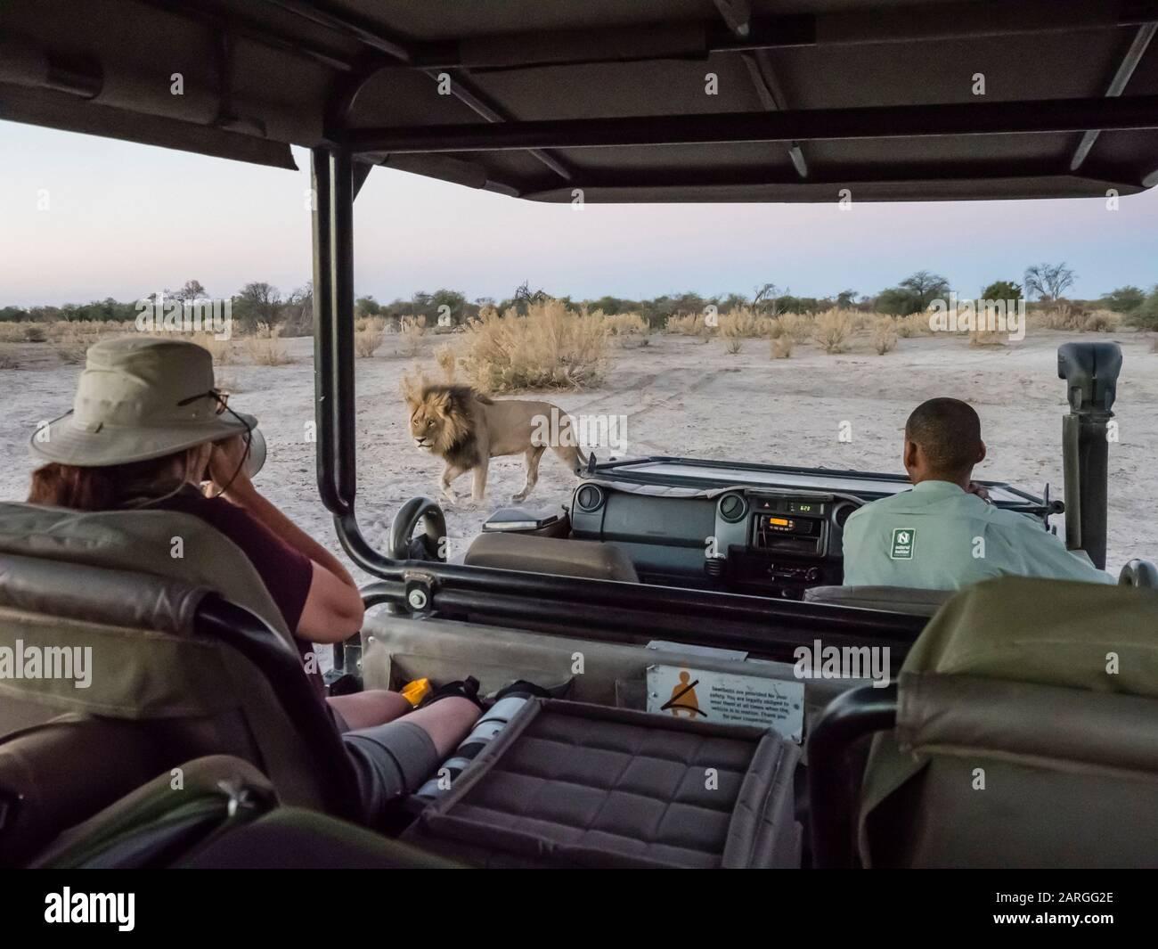 Lion masculin (Panthera leo) marchant près d'un véhicule safari dans le Delta d'Okavango, Botswana, Afrique Banque D'Images