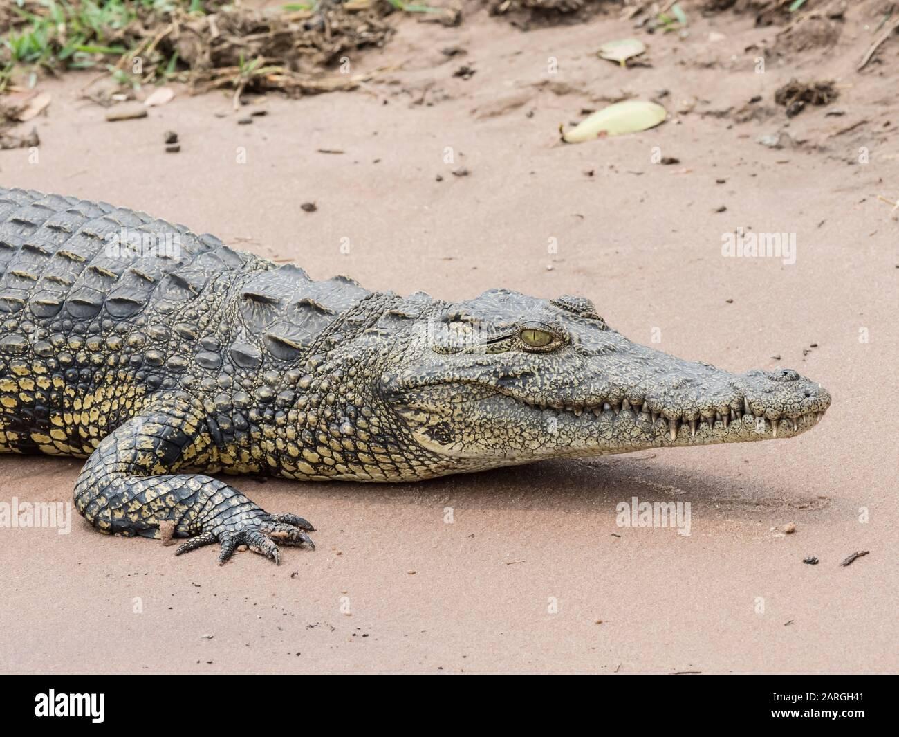 Un crocodile du Nil adulte (Crocodylus niloticus) dans le parc national de Chobe, au Botswana, en Afrique Banque D'Images