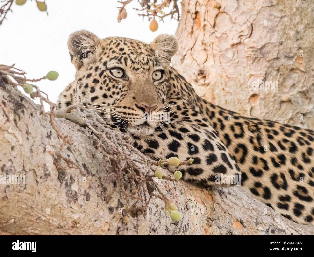 Un léopard adulte (Panthera pardus) reposant dans un arbre du Delta d'Okavango, Botswana, Afrique Banque D'Images