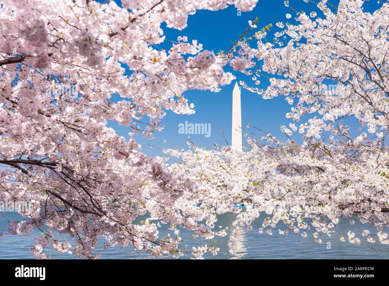Washington DC, États-Unis avec le Washington Monument entouré de cerisiers en fleurs au printemps. Banque D'Images