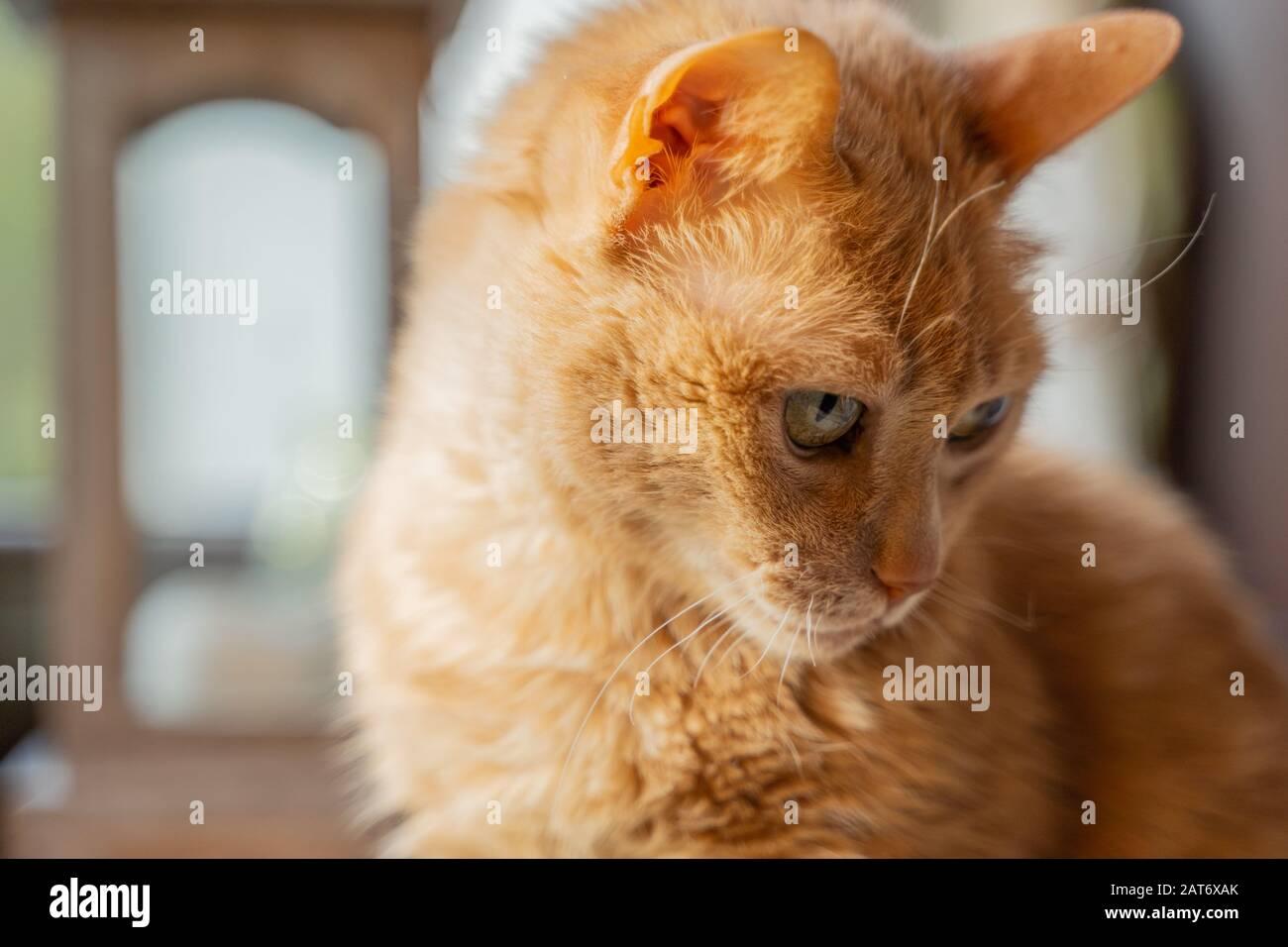 Adorable, doux, drôle et timide chat regardant les environs Banque D'Images