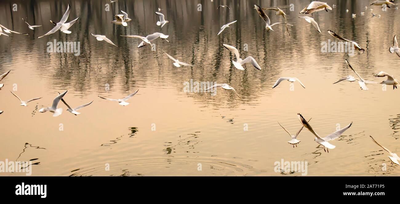 Troupeau de mouettes volantes au-dessus de l'eau de la rivière au coucher du soleil contraste élevé et réflexions Banque D'Images