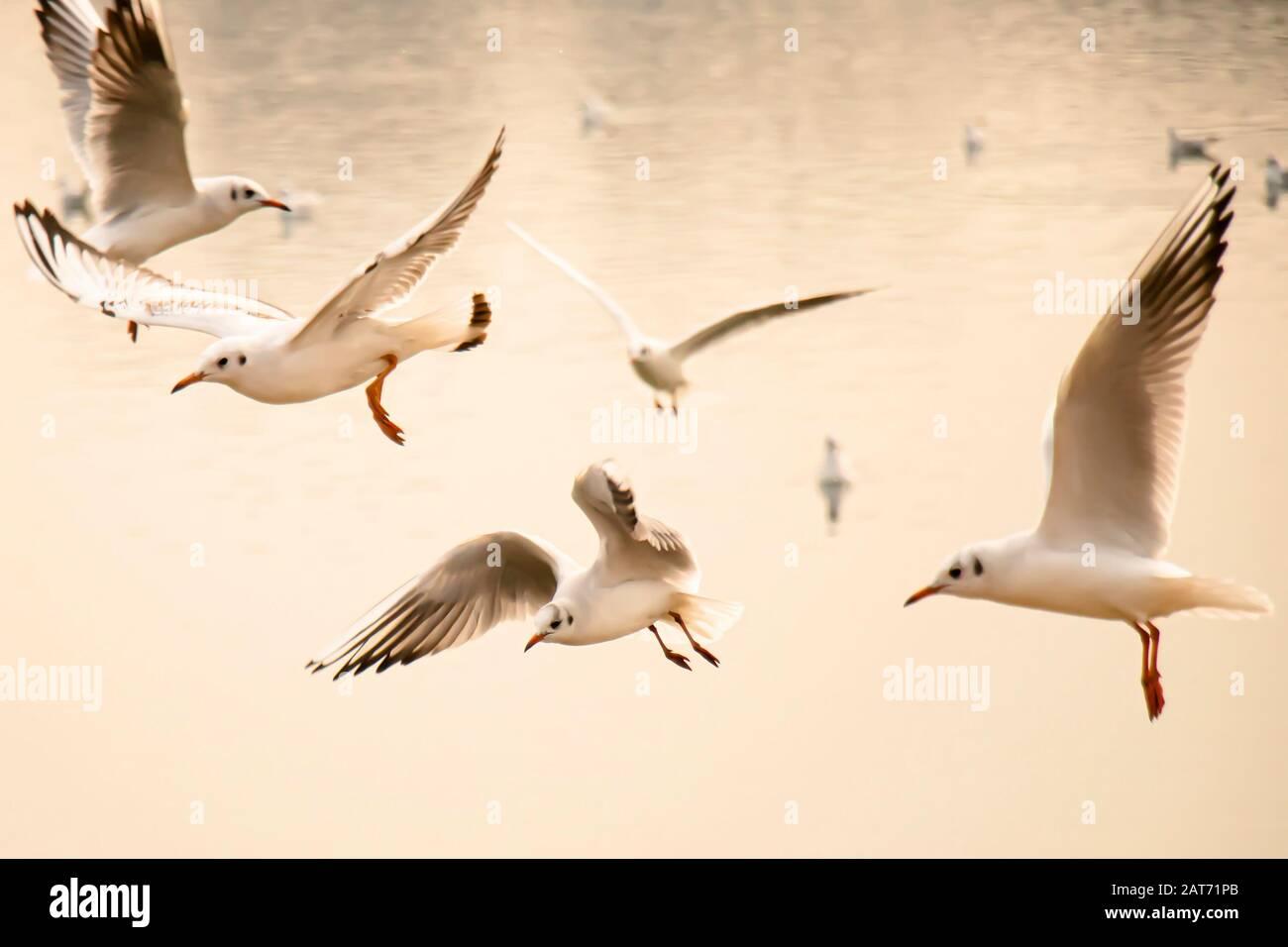 Des mouettes volantes au-dessus de l'eau de la rivière au coucher du soleil, près Banque D'Images