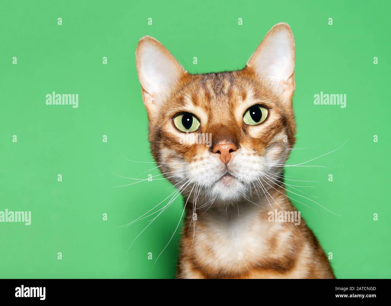 Gros plan portrait d'un adorable chat bBengale orange et brun regardant le spectateur avec une expression curieuse. Arrière-plan vert avec espace de copie. Banque D'Images