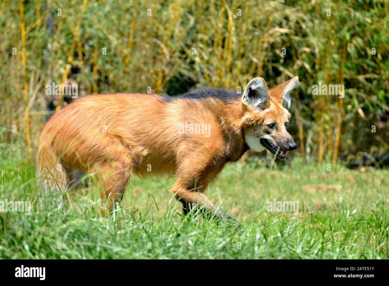 Loup mané (Chrysocyyon brachyurus) marchant dans l'herbe et vu du profil, la bouche ouverte Banque D'Images