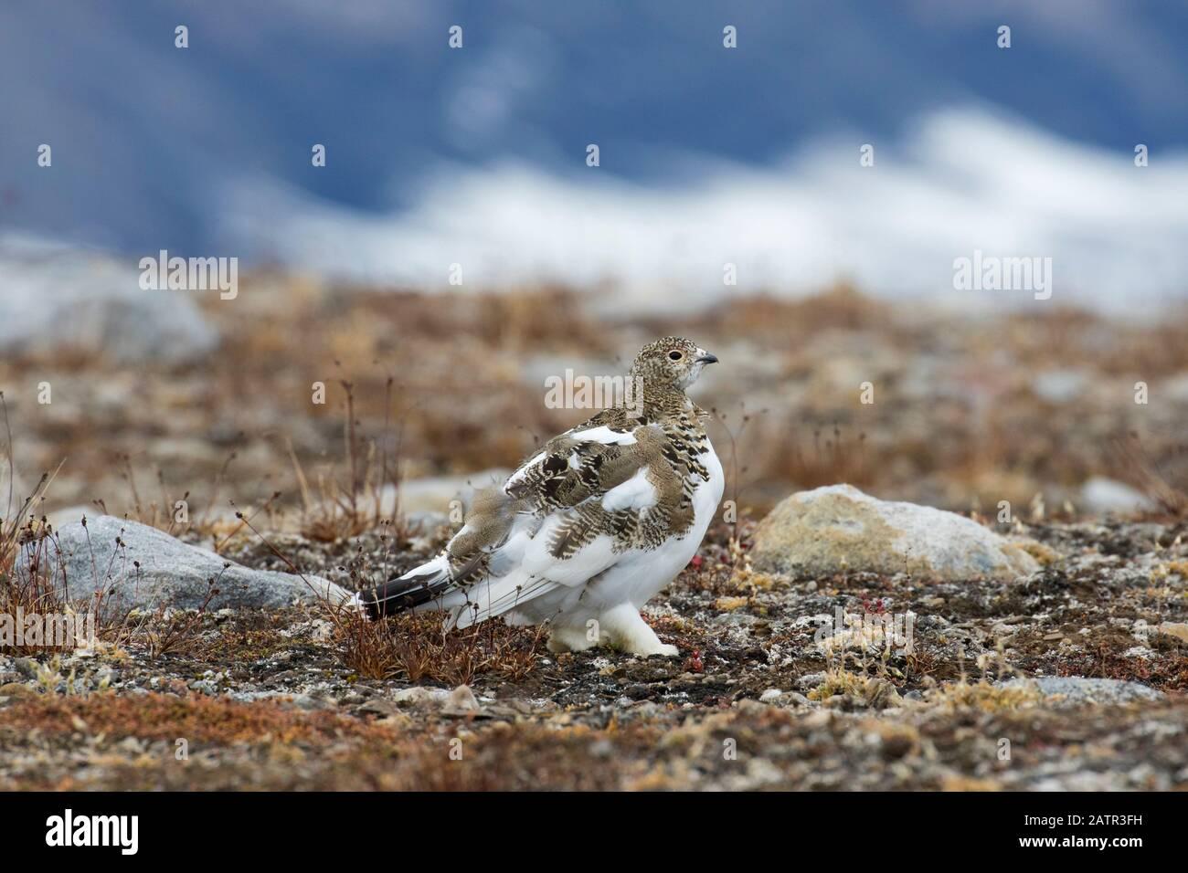 Rock ptarmigan (Lagopus muta / Lagopus mutus) femelle sur la toundra en automne, Svalbard / Spitsbergen, Norvège Banque D'Images