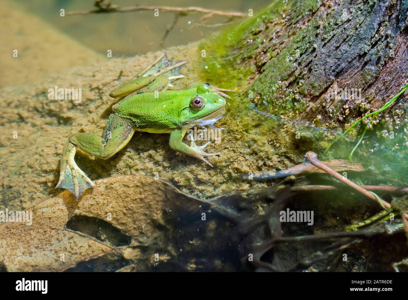 Euphlyctis hexadactylus grenouille vert indien, le Parc National de Sinharaja, Sri Lanka Banque D'Images