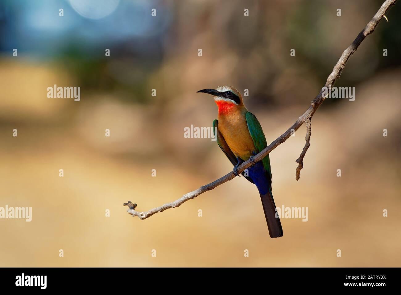 L'Oie rieuse Bee-eater - Merops bullockoides vert et orange et rouge oiseau largement diffusé de sous-L'Afrique équatoriale, nichent en petites colonies, digg Banque D'Images