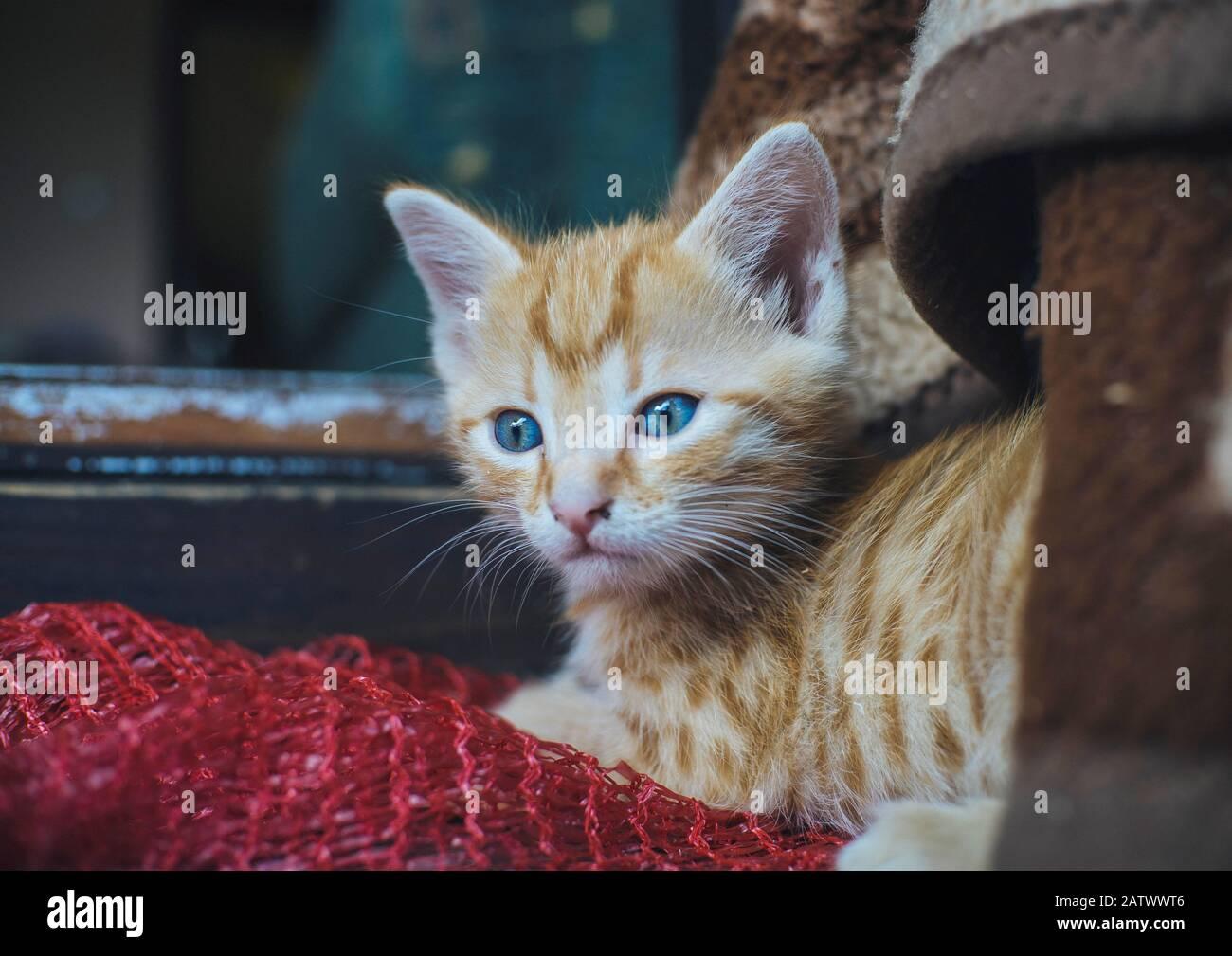 Chat orange à oei bleu mignon Banque D'Images