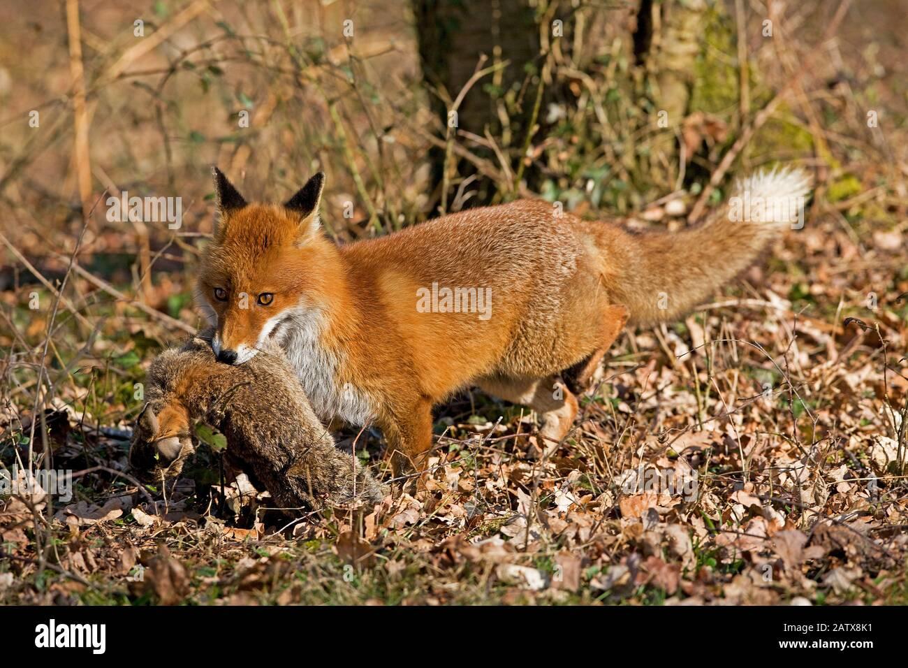 Le renard roux, Vulpes vulpes, homme chasse lapin sauvage, Normandie Banque D'Images