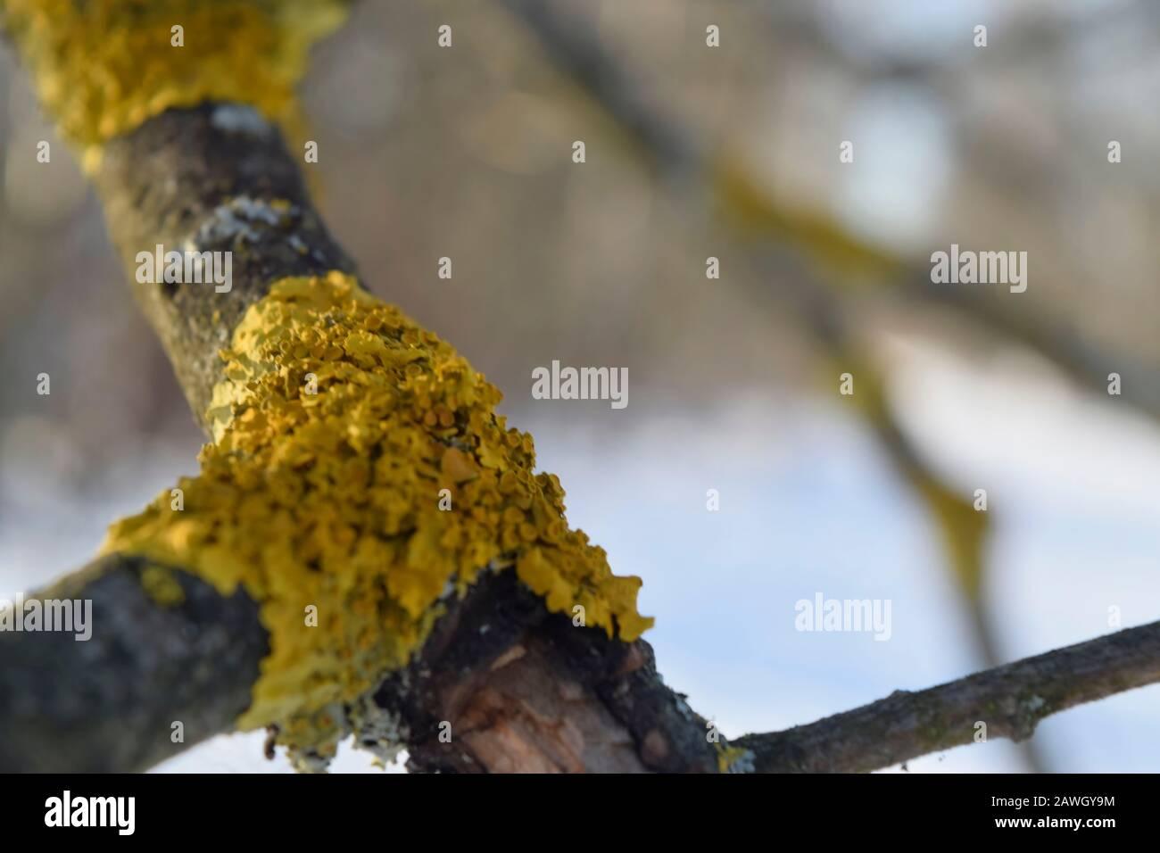 Lichen sur une branche sèche d'un arbre. Gros plan Banque D'Images