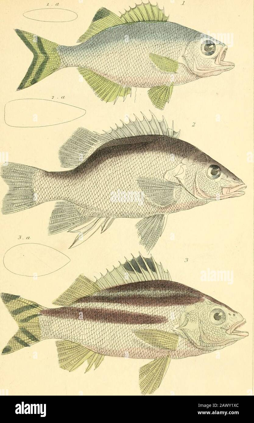 "Le royaume animal, organisé selon son organisation, servant de base à l'histoire naturelle des animaux : et une introduction à l'anatomie comparée . I Kti-US rarlmiirulux. Fllie ICF^Ji.r/ ?> . -iy,oyvion lu/iisruihiiii. ITIIC bifil.uhifr /Ji/,f""p/?r,>NJ; //<<""/ ""///,r uiro in.i,ir"""".../llt,-fll,u-l(llii. A. il,-<i.l ofli- Niplioi .<tiiittlif Kn.i|,l,.sus luniiiitii. THR Eno/ilosiis ou mm,;/ Cn;/i ijfJ.ip.in I i:,m,lan.HIL-udi-ru,n. St/J Urn I,-. .Jbizm allSTUjdinrb. TISC<:s.T1.2:^,.iis.. I.jDnlrs j}iinfp/tirhi.i.Nr/i.nirBirilf7-rila}ini7ri ^ i);ilinii Banque D'Images"