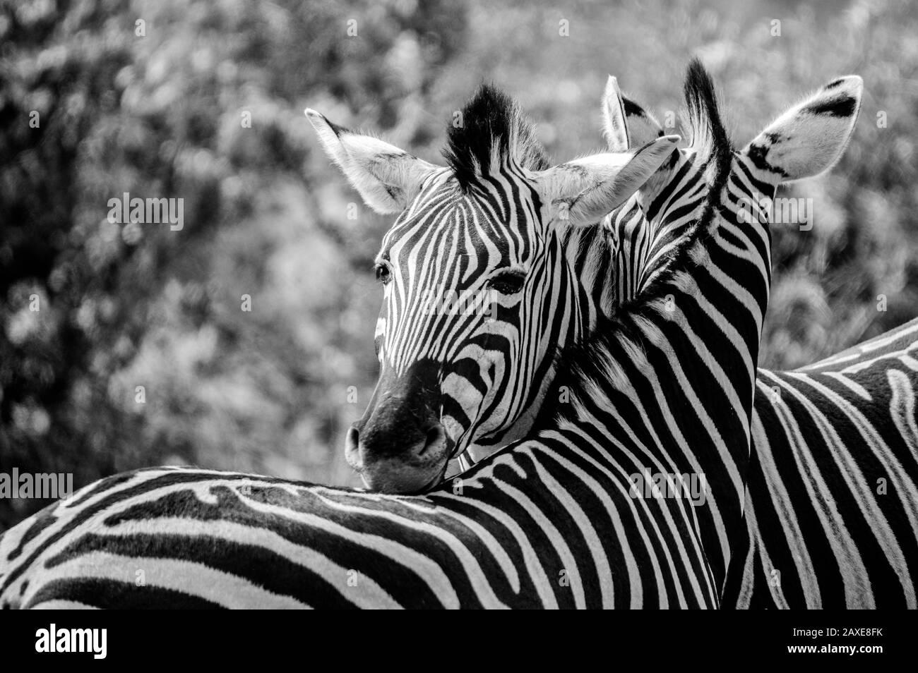 Cape le zèbre de Burchell dans la savane en Afrique du Sud game reserve Banque D'Images