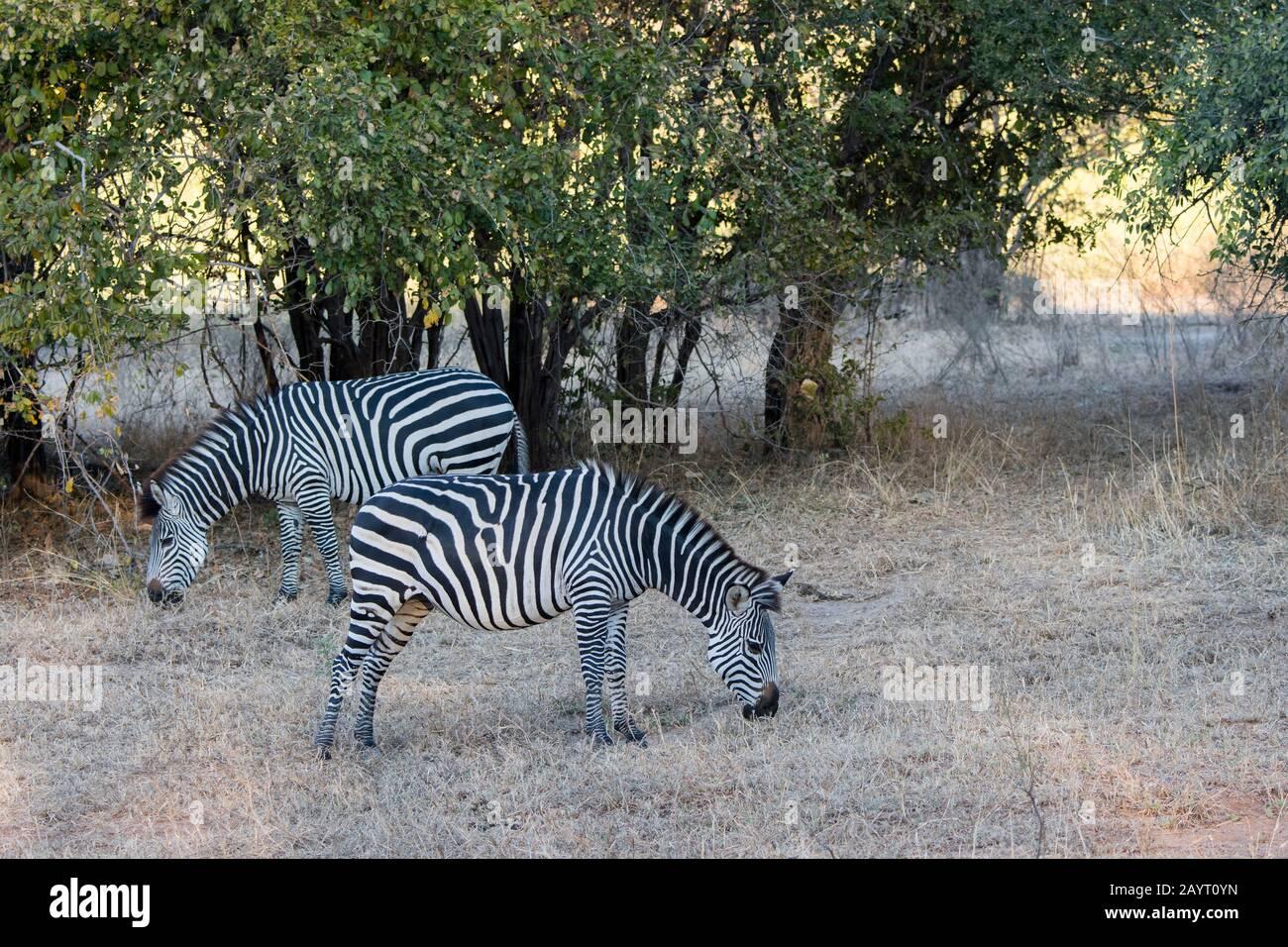 Le zébra de Crawshays (Equus quagga rampshayi) pacage dans le parc national de Luangwa Sud, dans l'est de la Zambie. Banque D'Images