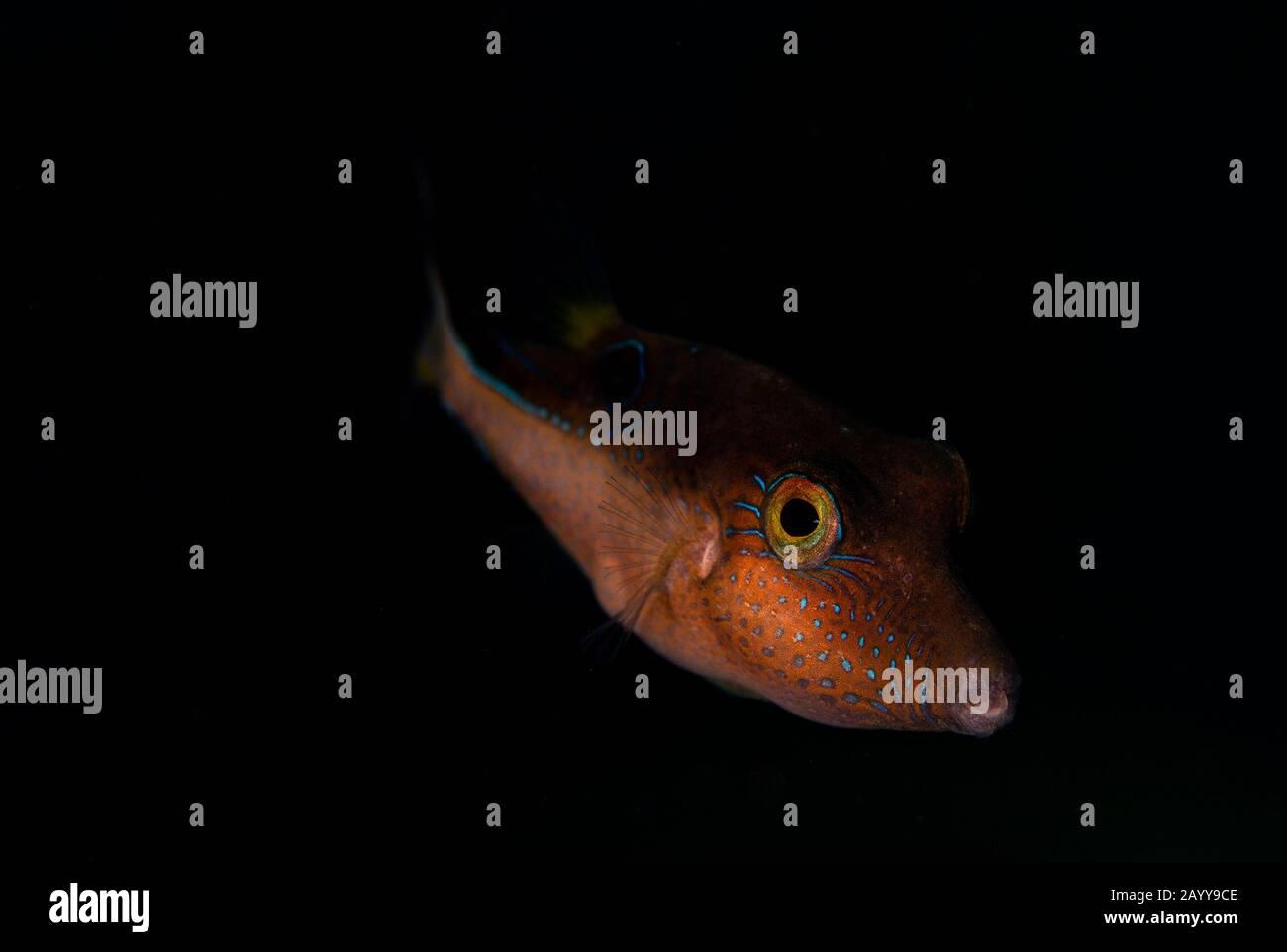 Un puffer de la Valentin explore le récif de Buddy à Bonaire, aux Pays-Bas. Le nom scientifique est Canthigaster valentine. Banque D'Images