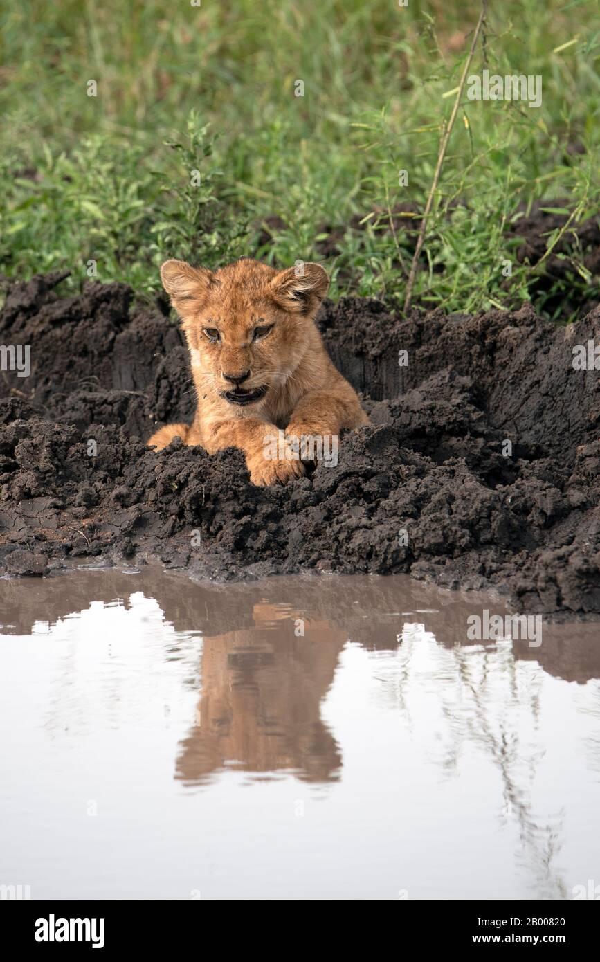 Lion cub reflété dans la flaque du jour au lendemain Banque D'Images