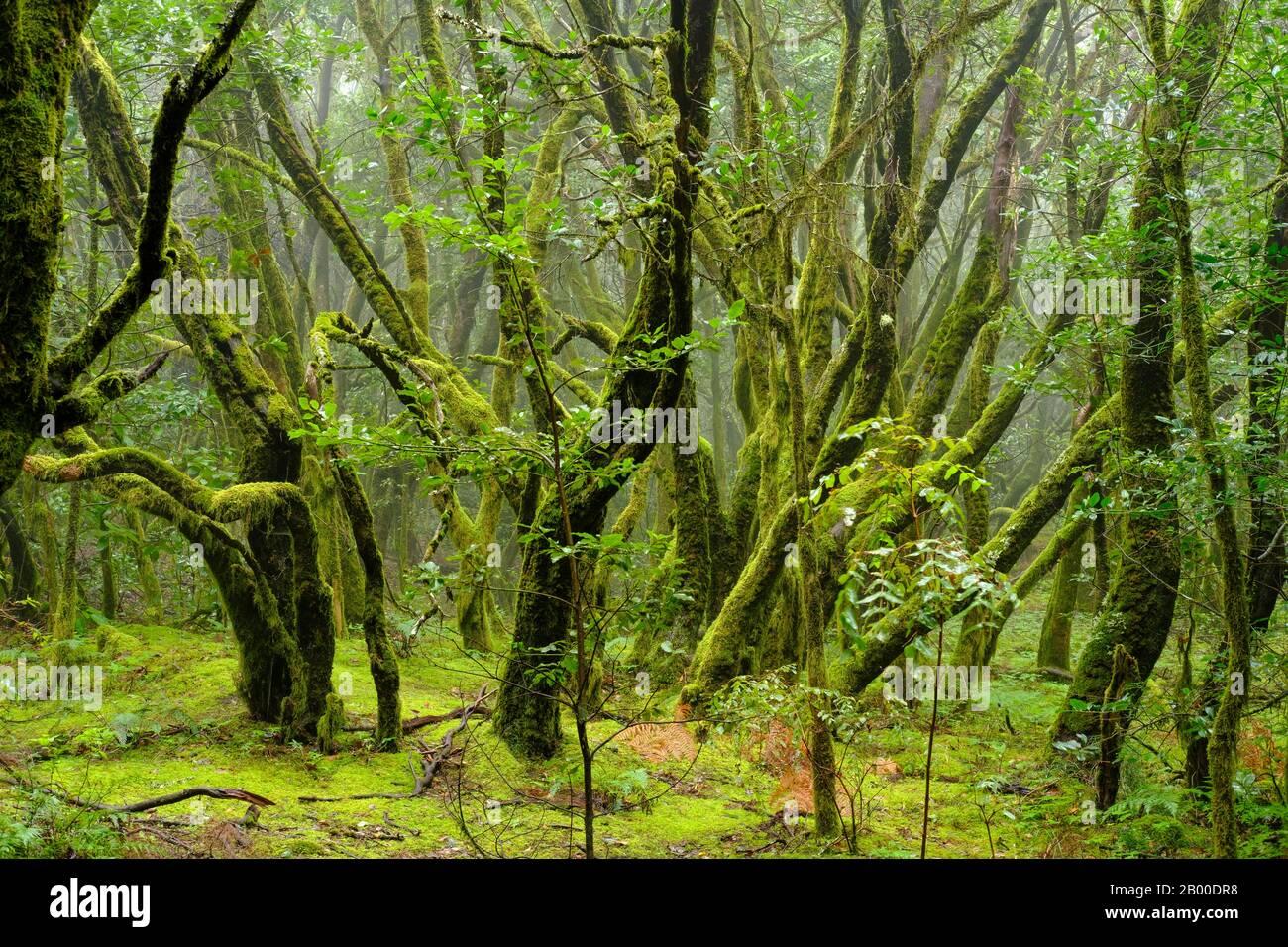Arbres couverts de Moss dans la forêt nuageuse, parc national de Garajonay, la Gomera, îles Canaries, Espagne Banque D'Images