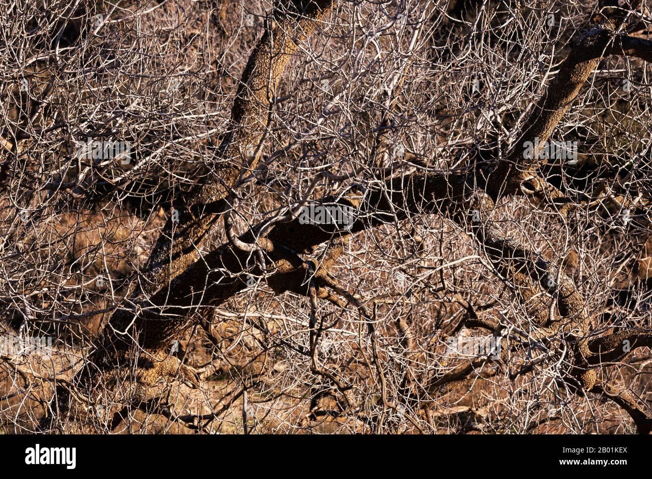 Gros plan des branches d'arbres dénudés sans feuilles en hiver, printemps. Image d'arrière-plan de la nature. Banque D'Images