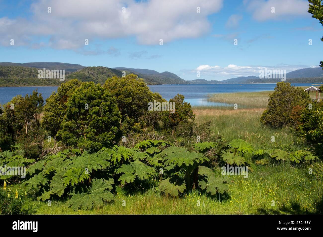 Plantes de Nalca (Gunnera tinctoria), la rhubarbe chilienne, sur le lac Cucao dans le parc national de Cucao Chiloe sur l'île de Chiloe, au Chili. Banque D'Images