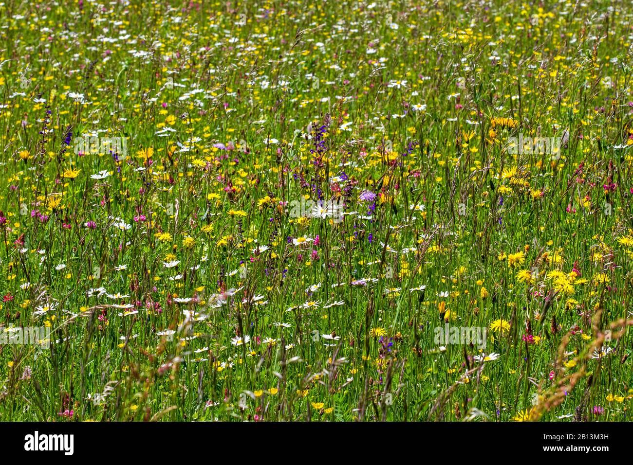 Pré-floraison riche en espèces , Allemagne, Bade-Wuerttemberg, Alb souabe Banque D'Images