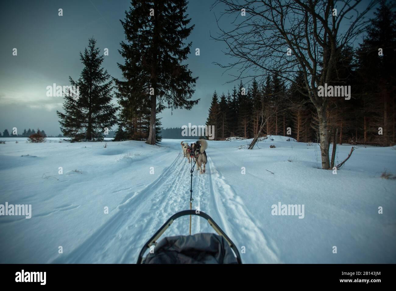 Chien de Traîneau Husky tour, forêt de Thuringe, Allemagne Banque D'Images