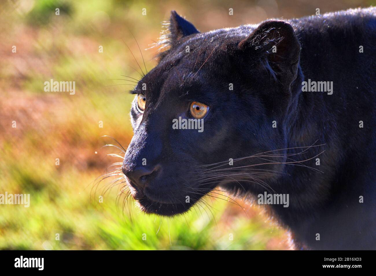 Gros plan Portrait d'un léopard noir Banque D'Images