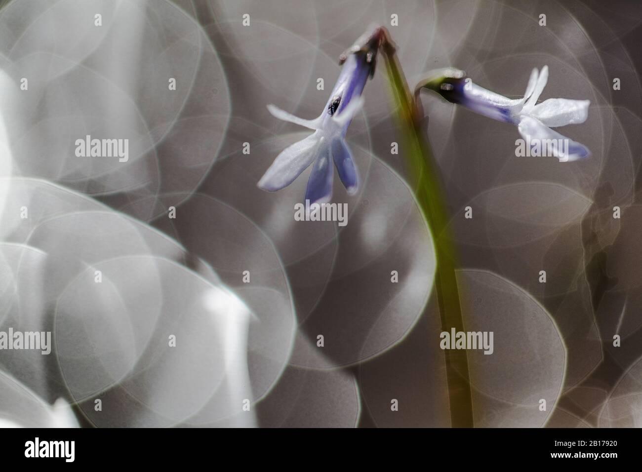 Lobelia d'eau (Lobelia dortmanna), floraison, réflexions lumineuses, Pays-Bas, Drenthe, Dwingelderveld-Koelevaartsveen Banque D'Images