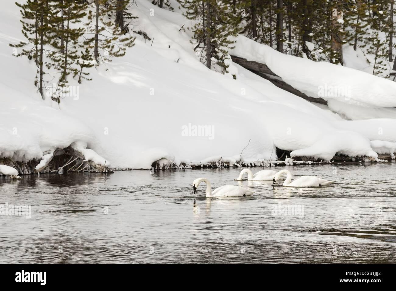 Cygnus bucinator, groupe nageant dans le paysage enneigé, États-Unis, Wyoming, Yellowstone National Park Banque D'Images