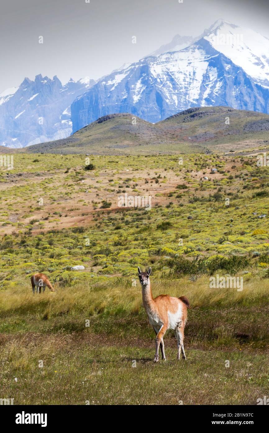 Guanacos dans le parc national de Torres del Paine, Patagonie, Chili. Banque D'Images