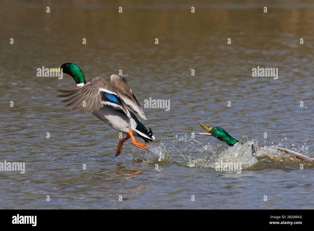 Malard masculin territorial (Anas platyrhynchos) chassant le concurrent drake de l'étang pendant la saison de reproduction au printemps Banque D'Images