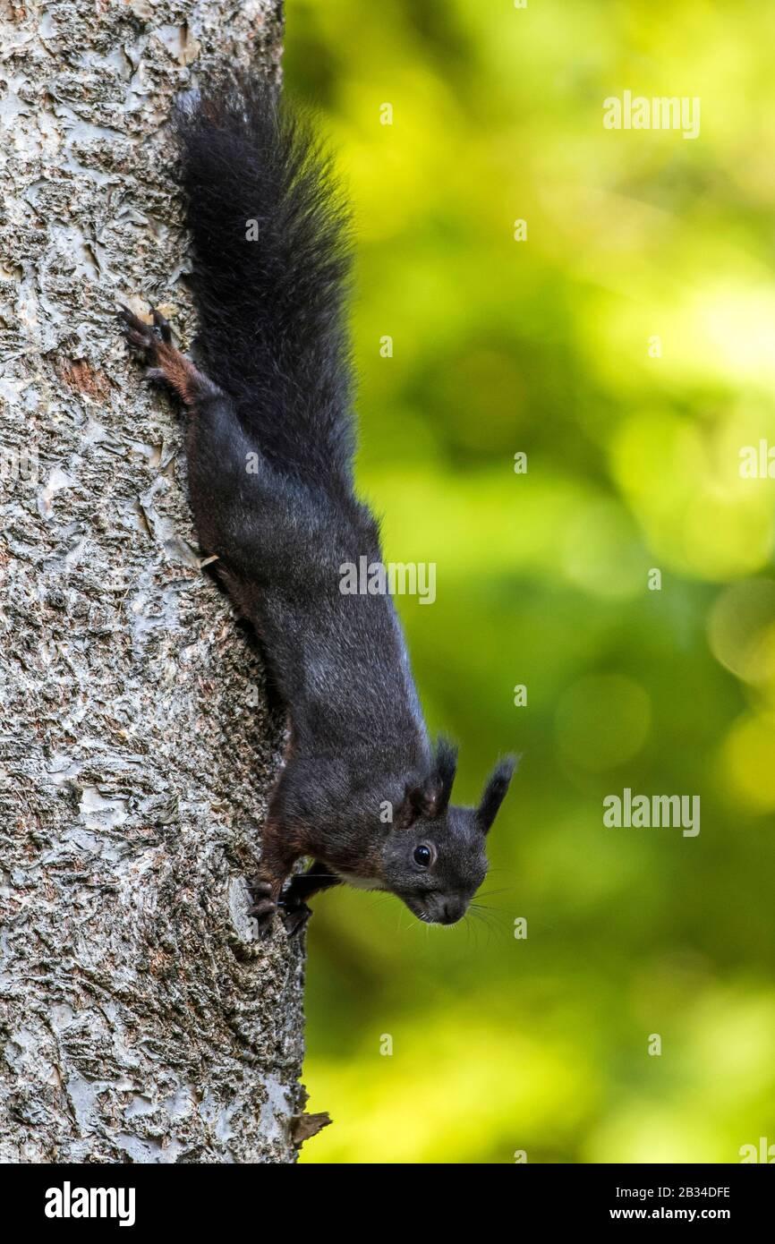 Écureuil rouge européen, écureuil rouge eurasien (Sciurus vulgaris), variété noire sur un tronc d'arbre, vue latérale, Allemagne, Bade-Wuerttemberg Banque D'Images