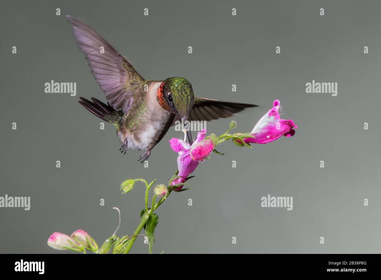 Un Nectar de rassemblement d'colibris à gorge rubis Banque D'Images