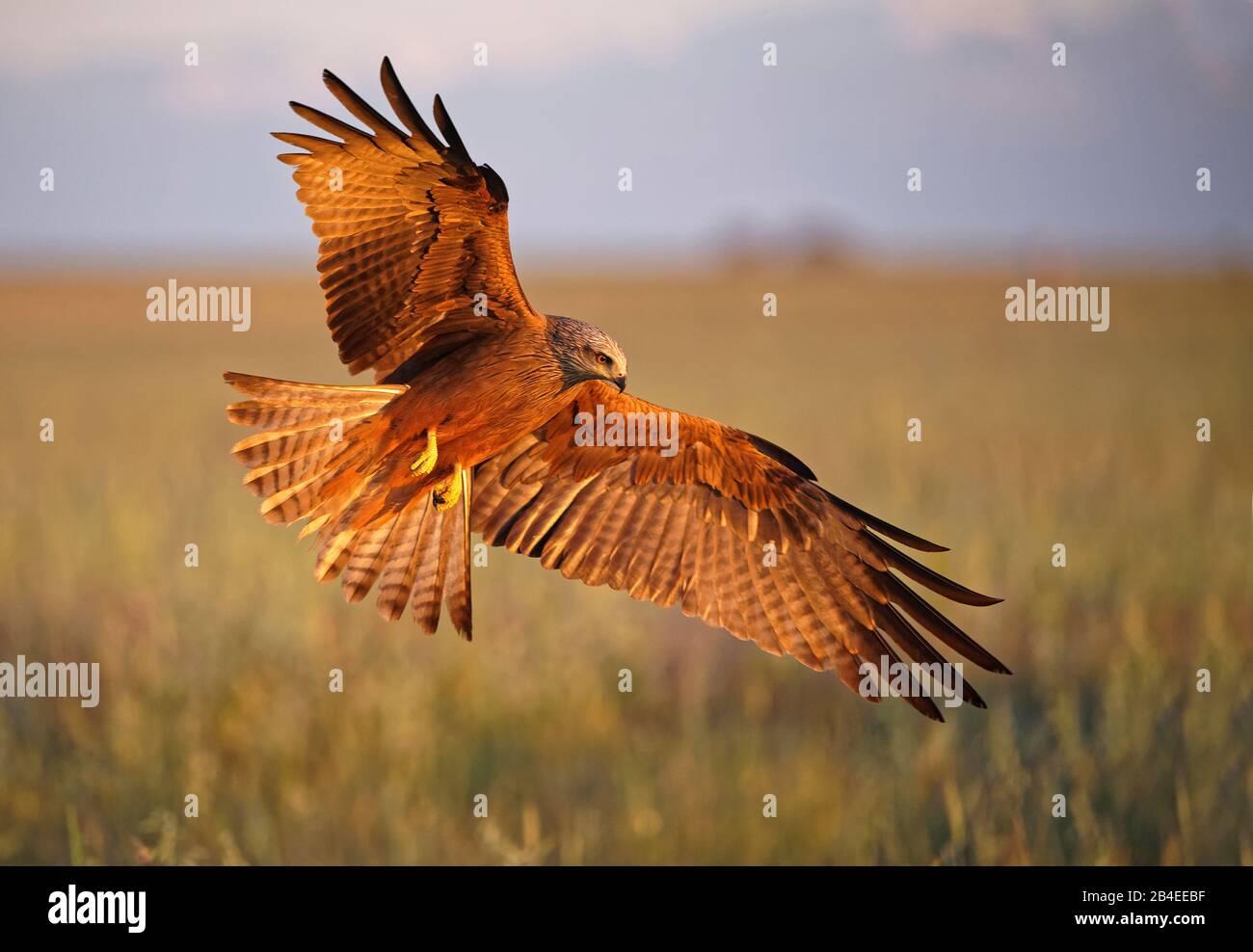 Cerf-volant noir (Milvus migrans) en vol, Castilla-la Mancha Espagne Banque D'Images