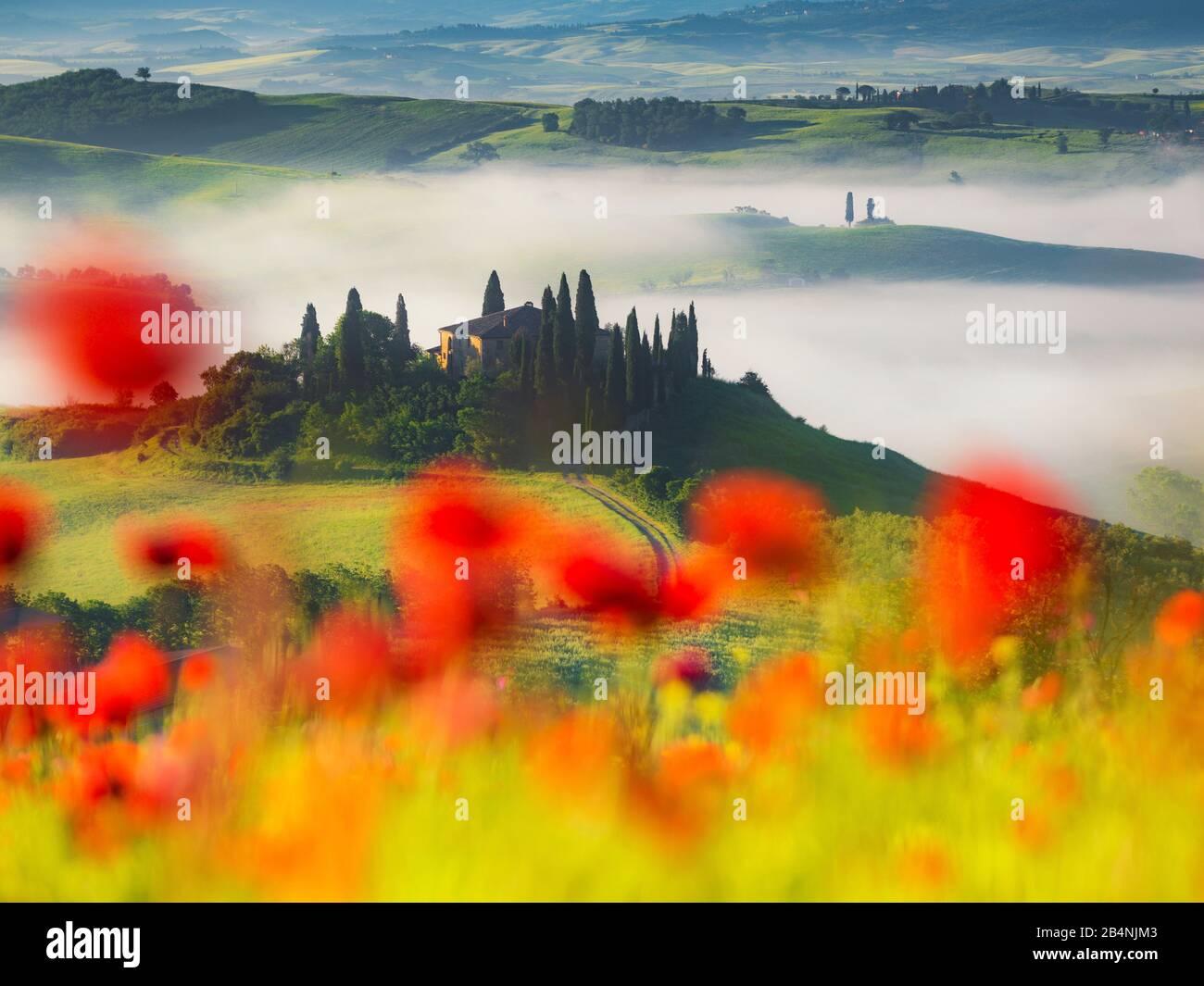 Maison de campagne Belvédère près de San Quirico d'Orcia, Val d'Orcia, Toscane, Italie, des coquelicots en premier plan, en arrière-plan la maison de campagne Banque D'Images